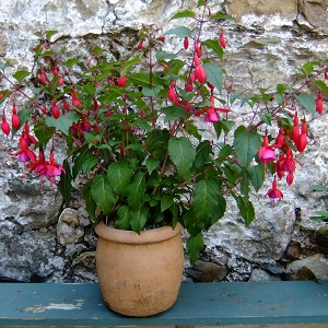 Fuchsia 'Beacon' in pot 2